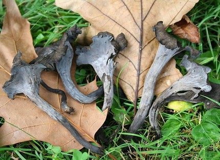 wild edible mushrooms, Horn of Plenty, Black Chanterelle, Black Trumpet