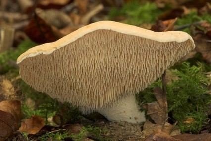 wild edible mushrooms, Hedgehog Mushroom